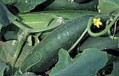 Early Triumph' thorny cucumber (Cucumis sativa). Vegetable, Summer