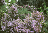 Thyme of Provence (Thymus vulgaris), Aromatic