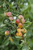 Mirabelle plum (Prunus domestica). Fruits on the tree