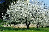 Cherry tree (Prunus avium) in bloom.
