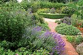 Garden of condiment plants: Gooseberry (Ribes sp), Lavender (Lavandula sp), Sage (Salvia sp)
