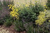 Bark mulch on Thistle (Echinops ritro), Yarrow (Achillea sp), Seneson (Brachyglottis monroi), Lavender (Lavandula sp)