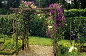 Clematis 'Jackmanii' and rosa 'Golden Showers' on pergola. Château de Touffou, Vienne, France