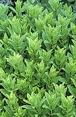 Spearmint (Mentha spicata), Aromatic