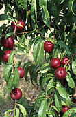 Nectarine 'Fantasia' (Prunus persica nucipersica) on the tree in summer