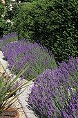 Lavender (Lavandula angustifolia) border in bloom
