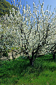 Small orchard with Cherry tree (Prunus avium) in bloom.