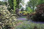 Rhododendron et Hyacinthoïdes non-scripta (jacinthe des bois ou endymion penché), Bowood Garden , Wiltshire, Angleterre, printemps