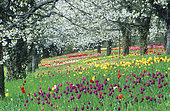 Tulips (Tulipa sp) and Cherry trees (Prunus sp) in bloom