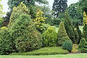 Jardin de conifères dont, Thuya orientale sieboldi, Waterperry Gardens, Oxfordshire, Angleterre