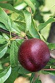 Nectarine (Prunus persica), fruit