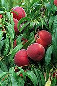 Peach 'Reine des Vergerss' (Prunus persica), fruits on the tree