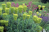 Euphorbia (Euphorbia characias) and Red valerian (Centranthus ruber) bed in summer, Ightham mote, Kent, England