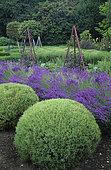 Lavender (Lavandula angustifolia), Green Santolina (Santolina pinnata). West Green Garden, Hampshire, England