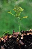 Young shoot of Oak (Quercus sp)