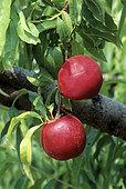 Nectarine 'Silver Gem' (Prunus persica)