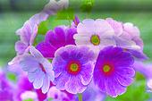 German Primrose (Primula obconica), flowers
