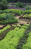 Flowered vegetable garden: Salads (Lactuca sativa), Alpine Lady's mantle (Alchemilla mollis). Sage (Salvia officinale), Parc Floral de Haute Bretagne, France.