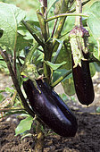 Eggplant 'Fabrina' (Solanum melongena). Vegetable