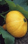Potimarron (Cucurbita maxima)