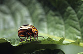 Colorado potato beetle (Leptinotarsa decemlineata) eating a leaf of Potato (solanum tuberosum), insect pest