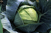 Headed cabbage (Brassica oleracea), vegetable