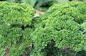 Curly parsley (Petroselimum crispum)