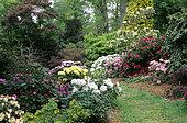 Spring Garden Scene: Rhododendron (Rhododendron sp) and Maple (Acer sp), Savill Garden, England
