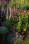 Bed of perennials with Masterwort (Astrantia major) 'Rosea', Carnation (Dianthus sp), Spike Speedwell (Veronica spicata), Penstemon (Penstemon sp).