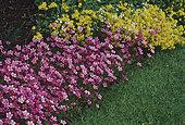 Saxifrage (Saxifraga sp), Floraison estivale