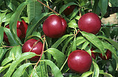 Nectarine 'Morton', chair blanche (Prunus persica). Fruits sur l'arbre