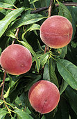 'Dixired' peach (Prunus persica). Fruits on the tree