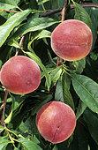 Pêche 'Dixired' (Prunus persica). Fruits sur l'arbre