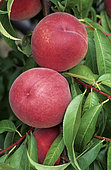 'Redwingd' peach (Prunus persica). Fruits on the tree