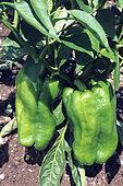 Green Pepper (Capsicum annuum), Organic farming
