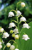 Lily-of-the-valley (Convallaria majalis) flowers