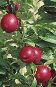 Nectarine 'Morton'(Prunus persica nucipersica). Fruits on the tree