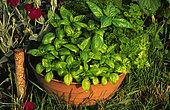 'Grand Vert' basil (Ocimum basilicum) in pot