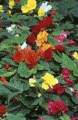 Tuberous Begonia (Begonia x tuberhybrida)