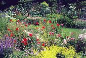 Wild garden: Poppy (Papaver rhoeas), Alpine lady's mantle (Alchemilla mollis), Endres cranesbill (Geranium endressii), Rose 'The Fairy' (Rosa sp)