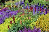 Massif of perennials with Larkspur (Delphinium sp), Lupine (Lupinus sp), Lady's mantle (Alchemilla sp). Spring-summer
