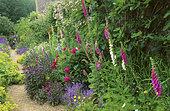 Flower Alley: Foxglove (Digitalis sp), Peony (Paeonia sp), Bellflower (Campanula poscharskyana), Sage (Salvia sp), Snowhill Manor, NT, Gloucestershire, England