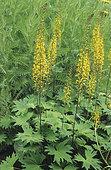 Ligularia (Ligularia przewalskii, syn. Senecio przewalskii in bloom