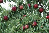 Nectarine 'Nectarose' (Prunus persica nucipersica)