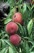Pêche 'Anita' (Prunus persica)