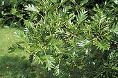 European Alder (Alnus glutinosa) 'Imperialis' leaves
