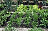 Vegetable garden with Carrot (Daucus carota), Salad (Lactuca sativa), Onion (Allium cepa), Celery (Apium graveolens).