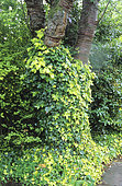 English ivy (Hedera helix) ' Buttercup', folaige