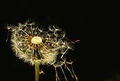 Akenes of common dandelion (Taraxacum officinale) on black background