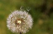 Akenes of common dandelion (Taraxacum officinale)